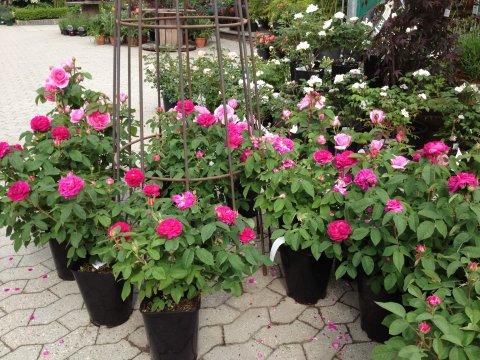 Dejlig Roser - Thyme Planteskole PL-85